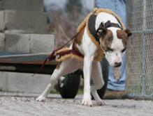 Pure Game Pit Bulls http://boldogkennelpitbulls.com/WA-Game-Dog-Club.html